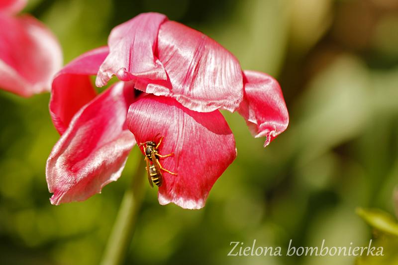 Pielęgnacja wiosennych roślin cebulowych poprzekwitnięciu