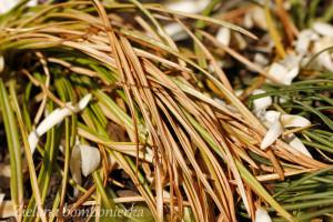 wiosenne cebule