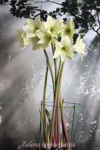 Hippeastrum 'Lemon Lime'