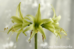 Hippeastrum 'Evergreen'