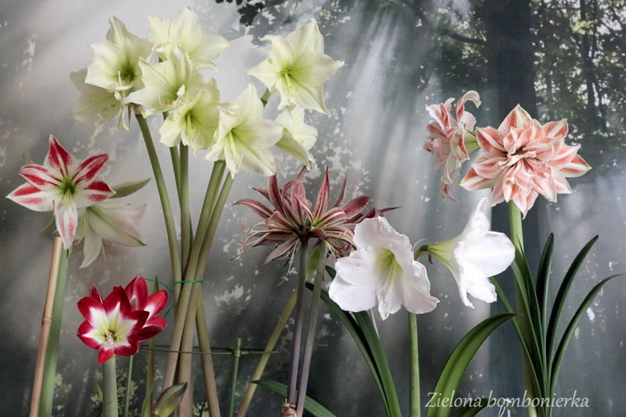 Hippeastrum - rośliny pokojowe