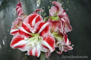 Hippeastrum 'Clown'