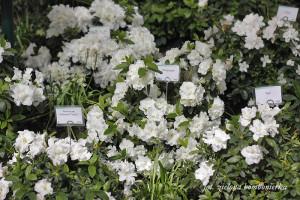 białe azalie