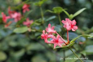 Botanika Bremen Borneo iNowa Gwinea Rododendron