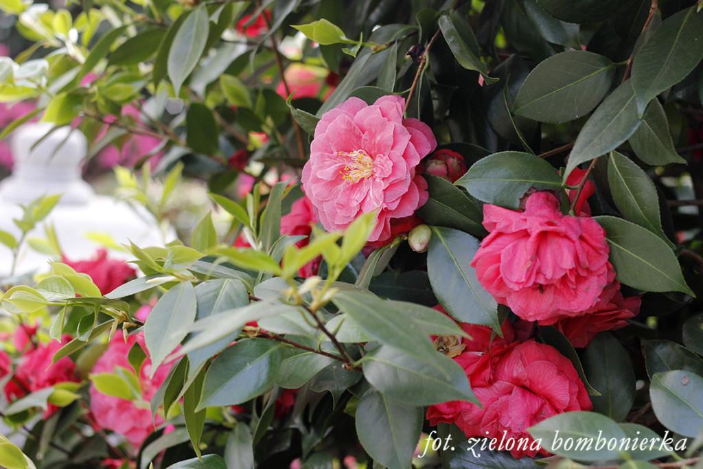 Ogród japoński Kamelia
