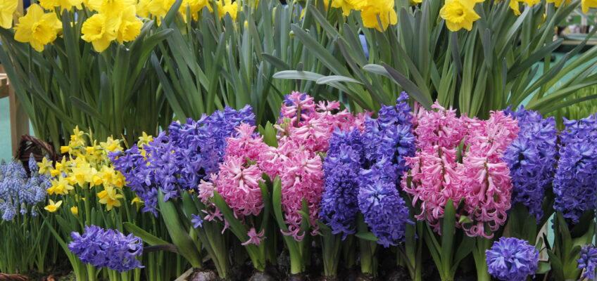 Wiosna napokojach. Co zrobić zcebulkami poprzekwitnięciu?