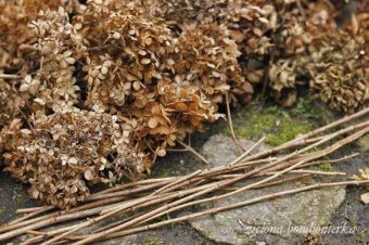 Wiosenne przycinanie hortensji