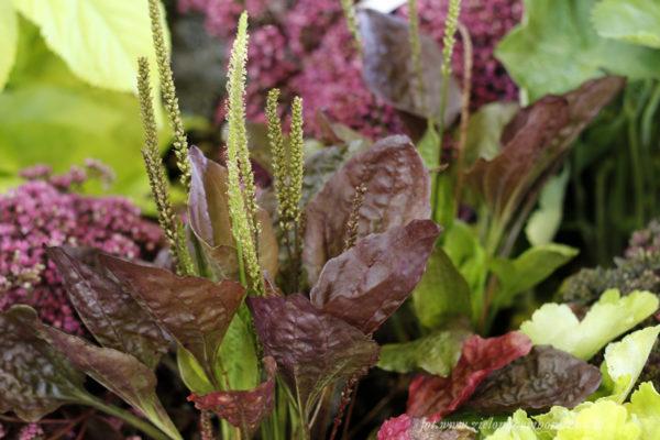 Plantago major Atropurpurea - Babka zwyczajna