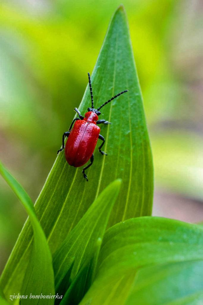 Poskrzypka liliowa dorosły chrząszcz