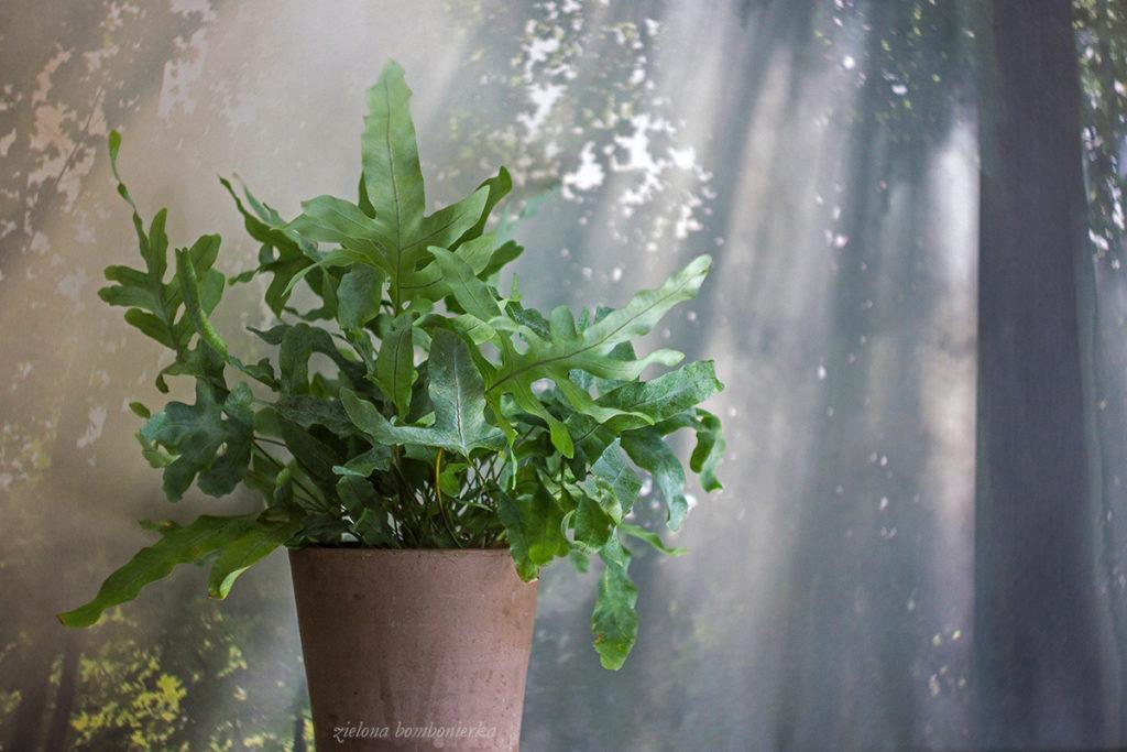 Phlebodium aureum 'Blue Star'