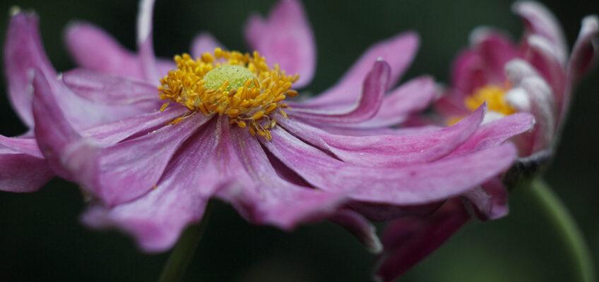 Zawilce japońskie – kwiaty późnego lata ijesieni.