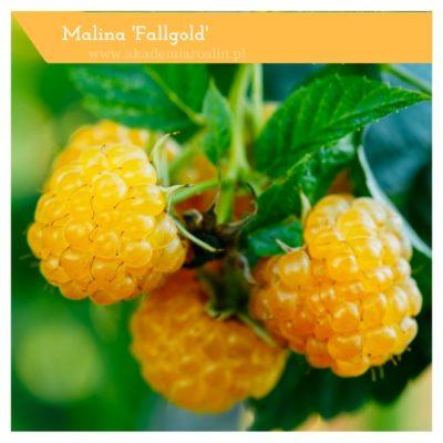 malina 'Fallgold'