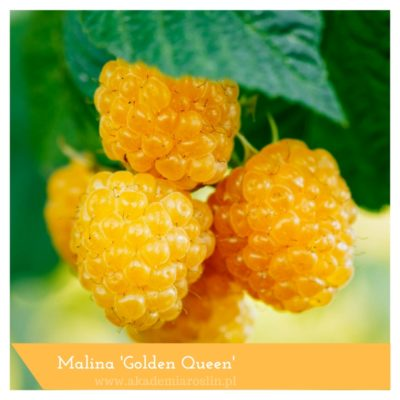 Malina 'Golden Queen'