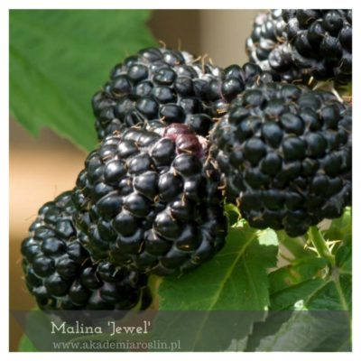 Malina 'Jewel'