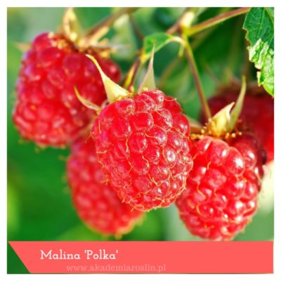 malina 'Polka'