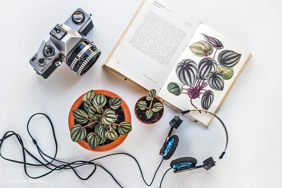 peperomia - rośliny doniczkowe