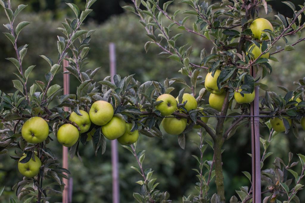 Jabłoń 'Deans Kuchenapfel'
