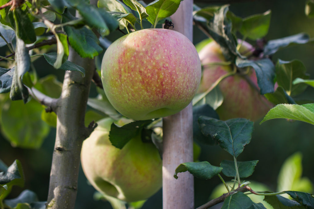 Jabłoń 'Niezrównane Peasgooda'