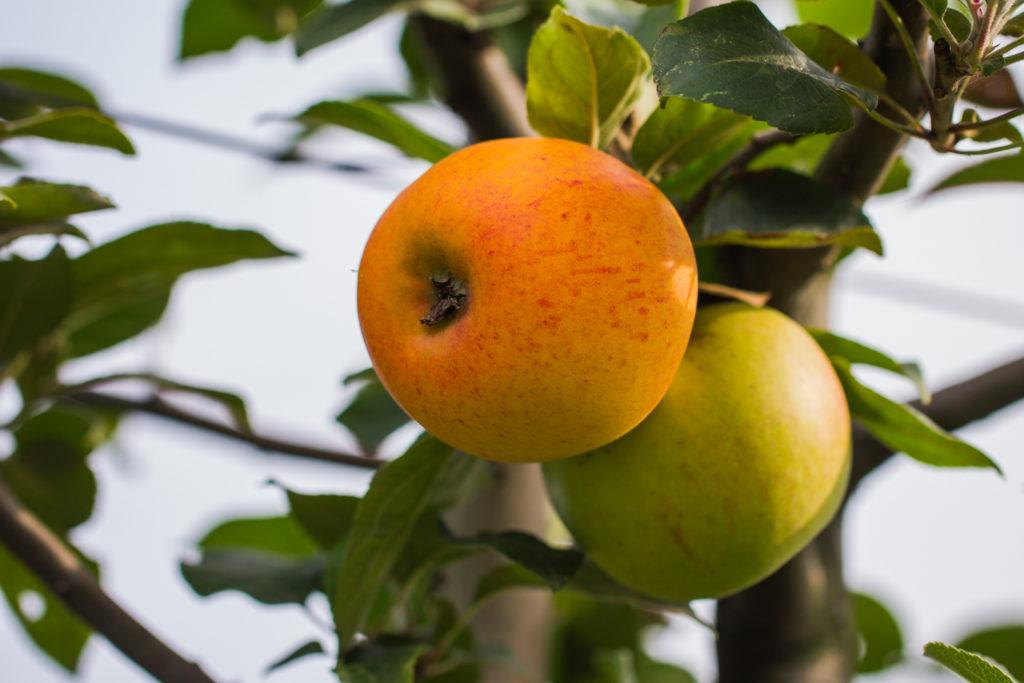 Jabłoń 'Królowa Renet'