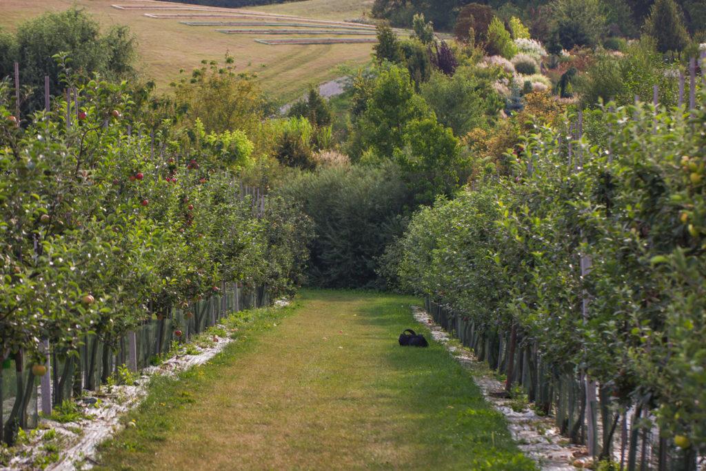 Jabłonie wArboretum Wojsławice