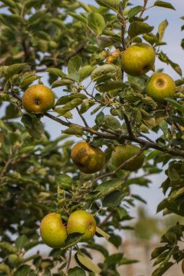 Jabłoń ′Reneta Kulona′