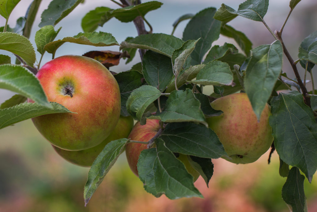 Jabłoń ′Rheinischer Winter Rambur′