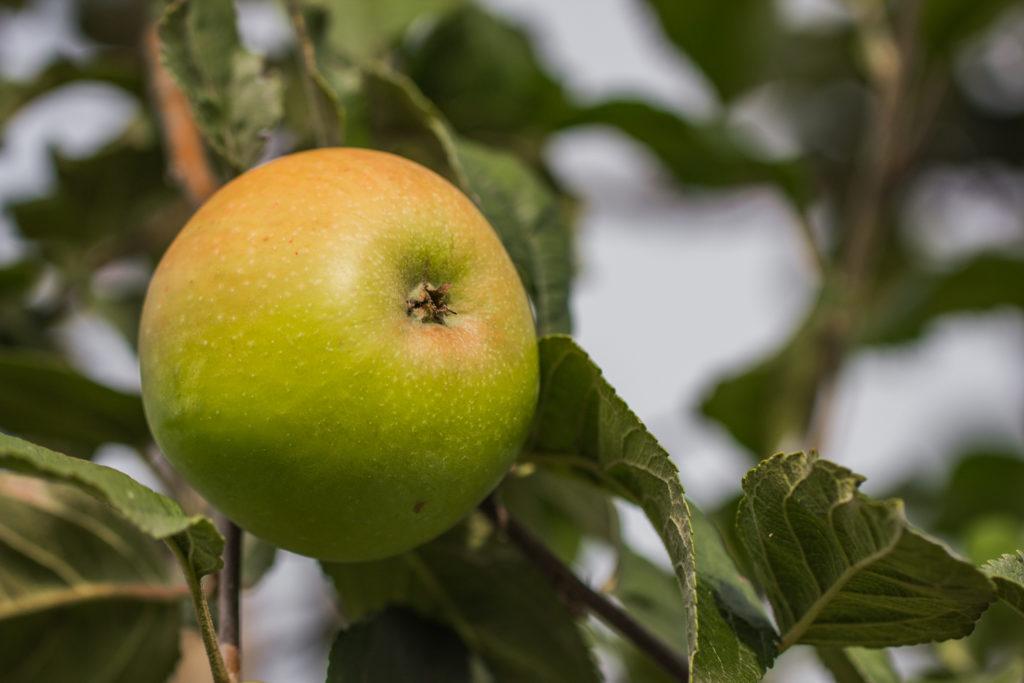 Jabłoń 'Złotka Kwidzyńska'