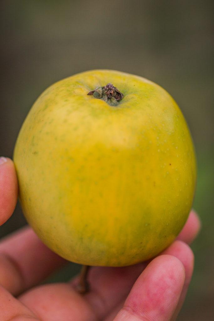 Jabłoń 'Rosmarina Bianca'