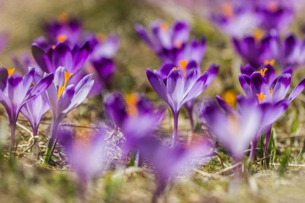 Krokusy - fotografia kwiatów